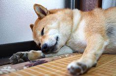 . おひるね ~ zzz . #camera #olympus  #dog #shiba #shibainu #japan #animal…