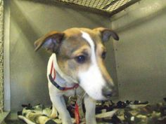 #MICHIGAN #URGENT ~ ID 170 is a Jack Russell Terrier mix picked up stray - Avail 12-2-13 if his owner doesn't claim him & in need of a loving #adopter / #rescue at GRATIOT COUNTY ANIMAL CONTROL  has had a contract with R & R a Class B animal dealer selling to RESEARCH - http://pcrm.org/good-medicine/2012/winter2012/queenies-story    2675 W Washington Rd   #Ithaca MICHIGAN 48847   Ph 989-875-2221