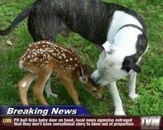 Love this story.Pit Bull licks baby deer.