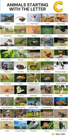 Animals that Start with C Canaan Dog, Clumber Spaniel, Clouded Leopard, Chinese Crested Dog, Animal Tracks, Nocturnal Animals, Animal Species, Wild Dogs, Animals Of The World