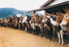 Horses ❤️ <----- mules, actually All The Pretty Horses, Beautiful Horses, Animals Beautiful, Farm Animals, Animals And Pets, Cute Animals, Draft Mule, Mules Animal, Draft Horses