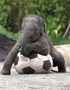 I ❤ baby elephants . . . Luk Chai hogs the ball at Taronga Zoo,Sydney. ~Photograph by Rick Stevens