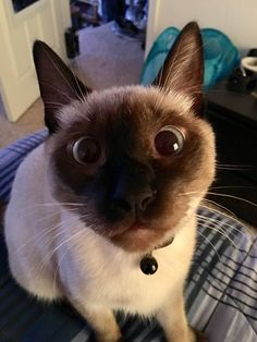 Hi Reddit this is Blue my cross-eyed alarm clock!   cats funny pictures