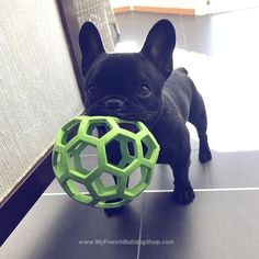 """C'mon lets do this!"", Playful French Bulldog Puppy"