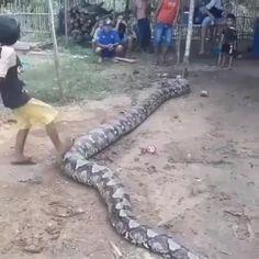 アナコンダ 巨大 【驚愕】世界最大級の巨大ヘビがブラジルで捕獲される!長さ10メートル、重さはなんと400キロ! │
