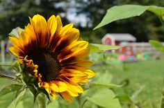 Beautiful sunflower blooms beside Mr. Mcgregors garden at Wolfe's Neck Farm http://wolfesneckfarm.org/