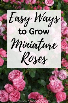 One type of plant you should add to your potted garden are miniature roses. These plants make great landscaping additions or colorful accents in containers. Read about easy ways to grow miniature roses by clicking on this pin. Potted Garden, Garden Pots, Roses Garden, Garden Ideas, Types Of Roses, Types Of Plants, Container Plants, Container Gardening, Ground Cover Roses