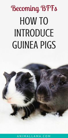Learn how to introduce guinea pigs to each other and make sure they are BFFs for life! Introducing guinea pigs can go smoothly if you do it correctly. See our step by step guide to introducing guinea pigs. #guineapigs #guineapig #guineapigcare #pets #petcare