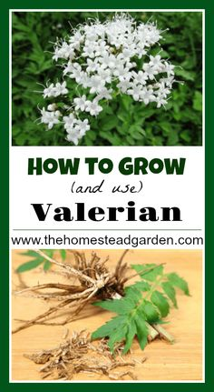 Herbal Medicine How to Grow and Use Valerian - Learn how to grow and use Valerian at home. Valerian is a powerful herb that can be used medicinally for anxiety, pain relief, headaches, and more. Healing Herbs, Medicinal Plants, Wound Healing, Gardening For Beginners, Gardening Tips, Gardening Services, Types Of Herbs, Homestead Gardens, Growing Herbs