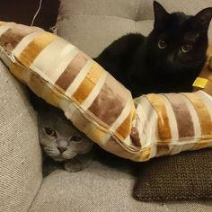 シャルが、、、😲😲 . .  つぶれてる…😫😱💦 . . . シャルがいるってわかっていながら上にのるイジワルクロロ👿 . . . シャルさん「助けてー」って#子猫 のような顔してるww . . . #シャルとクロロ#シャルトリュー#chartreux#cat#catsofinstagram #instacat#クロネコ #neko#nekostagram #graycat #bluecat #ねこ#猫#ねこ部#ねこら部#グレー猫#グレ猫倶楽部#愛猫#ふわもこ部 #blackcat #catlove#petstagram #にゃんすたぐらむ#にゃんだふるらいふ#ネコスタグラム#silvercat #catslife#みんねこ#ペコねこ部  すぐに救出しましたよ(ºㅁº)!!