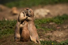 Prairie dog is listed (or ranked) 13 on the list The Most Adorable Animal Parent. - Prairie dog is listed (or ranked) 13 on the list The Most Adorable Animal Parenting Moments - Cute Animals Puppies, Cute Baby Animals, Funny Animals, Wild Animals Pictures, Cute Animal Pictures, Amazing Pictures, Animals Kissing, Cute Animal Videos, Tier Fotos