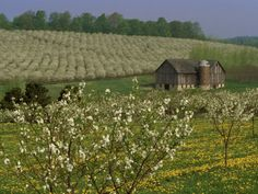-old-barn-next-to-blooming-cherry-orchard-and-field-of-dandelions-leelanau-county-michigan-usa.jpg