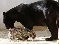 Google Image Result for http://4.bp.blogspot.com/_2fdwS3Y1VhU/S33HQS7DkcI/AAAAAAAAOaU/0YxTd7D7I98/s400/black-Jaguar-spotted-cub3.jpg