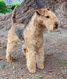 Lakeland Terrier Airedale Terrier, Irish Terrier, Terrier Breeds, Terrier Dogs, Dog Breeds, Fox Terriers, Lakeland Terrier, Pet Dogs, Dogs And Puppies