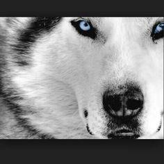 Es un zorro blanco y megro