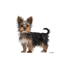 Yorkshire Terrier ❤ liked on Polyvore featuring animals, dogs and pets