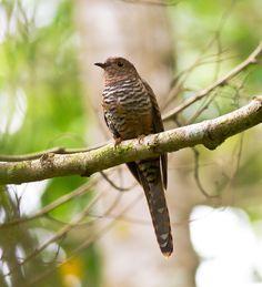 Rusty-breasted Cuckoo, Cacomantis sepulcralis, Lore Lindu