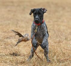 Find Out More On Enthusiastic German Shorthaired Pointer Puppies Exercise Needs Gsp Puppies, Pointer Puppies, Pointer Dog, German Shorthaired Pointer Black, German Wirehaired Pointer, French Dogs, Dog Games, German Shepherd Puppies, Hunting Dogs