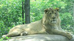 Lion at Vilas Zoo in Madison Great Pictures, Lion, Adventure, Travel, Leo, Viajes, Lions, Destinations, Adventure Movies