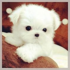 Cutie Pie animals sweet baby white adorable dog puppy pet. Is this real? Cause I…