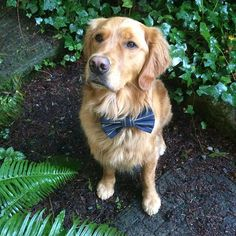 Available...single gold male...loves running in the rain, playing in the mud, chasing balls, swimming, and eating...everything.  Any takers ladies? . ❤️❤️❤️❤️❤️❤️❤️❤️❤️❤️ Hot date tie by @snapindogbows  Use code CHARLIEANDMAGGIE