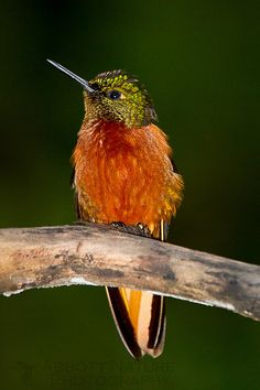 Chestnut-breasted Coronet hummingbird found in the forests of Colombia, Ecuador & Peru