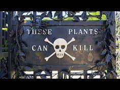 [VIDEO]TOUR THE INFAMOUS POISON GARDEN - http://www.gardenpicsandtips.com/videotour-the-infamous-poison-garden/