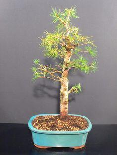*rs Bonsai Larix kaempfei jap.Lärche Wald L2