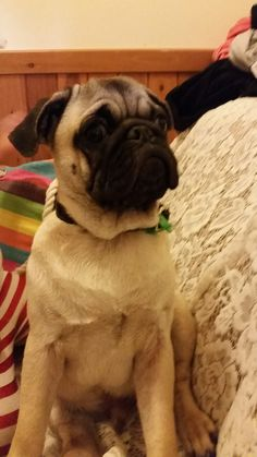 This is my Aunty's pug. I love pugs, Louie has been the only pug I have ever met, I would really like a pug.