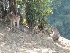 Funny indian monkeys