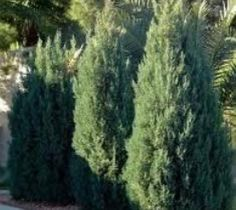 Blue Point Upright Juniper Trees (1 Gallon) juniper http://www.amazon.com/dp/B00YNV08FO/ref=cm_sw_r_pi_dp_S403vb07597BA
