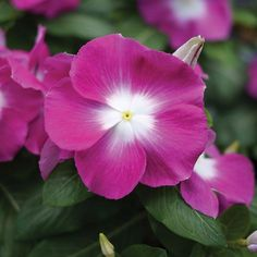 Vinca Mega Bloom Orchid Halo