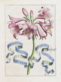 Narcissus inidcus liliaceus dilvto colore by Giovanni Battista Ferrari Flora Prints 1638. Antique botanical illustration.