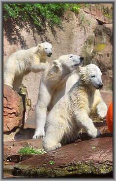 FAMILY PLAYTIME  3x polar bear ........ #by Dieter und Marion Sempf --- 500px.com