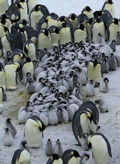 Penguin Parental Devotion Grown-up penguins