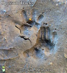 Animal Tracks - Opossum (Didelphis virginiana)