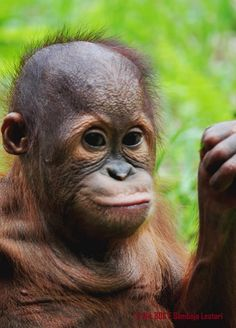 stop killing these animals. everytime you purchase a palm oil product you are supporting the decimation of these innocent helpless creatures