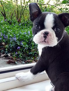 Boston Terrier-reminds me of mine when she was a pup. Cute Puppies, Cute Dogs, Dogs And Puppies, Doggies, Animals And Pets, Baby Animals, Cute Animals, Wild Animals, Continental Bulldog