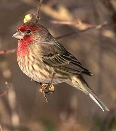 photos of house finches - Google Search