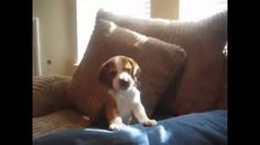 Beagle Puppy Learns To Howl The pursuit of happiness is a goal that all humans share. Our goal here at One Smile At A Time is to contribute to that with a sm...