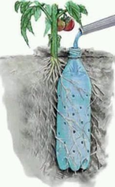Irrigate a tomato plant w/ a re-purposed soda bottle. by colorcrazy