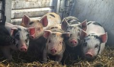 Look at these new arrivals to the farm. I picked up 9 little pigs the other day. It kind of felt like the start to the 2016 season for me. Time to start getting things in their proper places, time to start executing on...
