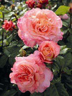 Hybrid tea rose 'Augusta Louise'
