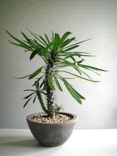 dwarf madagascar palm - Google Search