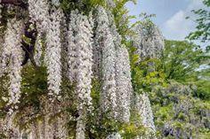 Wisteria floribunda 'Multijuga' (syn. 'Macrobotrys') - glicynia kwiecista E-CLEMATIS