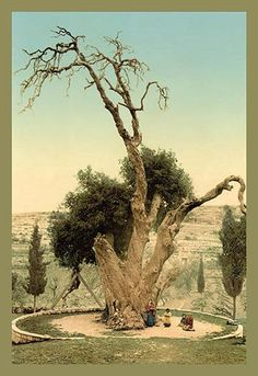 Abraham's Tree Mamreh on the West Bank
