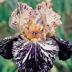 Gnus Flash Tall Bearded Iris Rhizome Exotic - Rare Black Flower Color