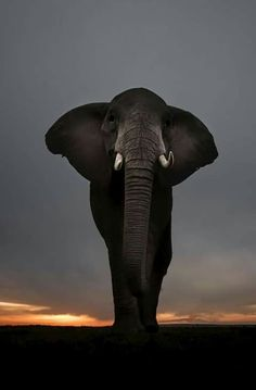 Majestic Elephant