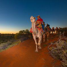 Uluru Camel Tours Group Riding Camels Sunset