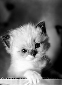 Kitten in black and white - A rare thing for me to shoot in black and white, not sure that it works. Three week old Ragdoll kitten. Natural light #PersianCat